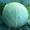 Семена белокочанной капусты KS 29 F1 фирмы Китано  #1372137