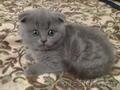 Продаю Британских котят вислоухих(девочки)