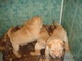 Продам чистокровных щенков шарпея