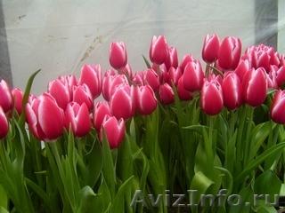Тюльпаны оптом к 8  марта, Объявление #555782