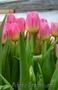 Тюльпаны оптом к 8  марта - Изображение #3, Объявление #555782