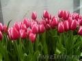 Тюльпаны оптом к 8  марта - Изображение #1, Объявление #555782