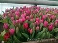 тюльпаны к 14 и 23 февраля 8 марта от производителя