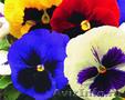 Виола крупноцветковая