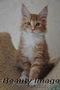 Котята мейн кун Самые крупные домашние кошки!