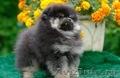 Очаровательные щенки померанского шпица