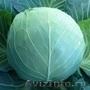 Семена белокочанной капусты KS 29 F1 фирмы Китано