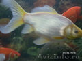 малёк золотой рыбы Комета - Изображение #3, Объявление #1520139