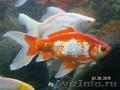 малёк золотой рыбы Комета - Изображение #2, Объявление #1520139