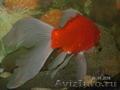 малёк золотой рыбы Комета - Изображение #6, Объявление #1520139