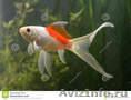 малёк золотой рыбы Комета - Изображение #4, Объявление #1520139